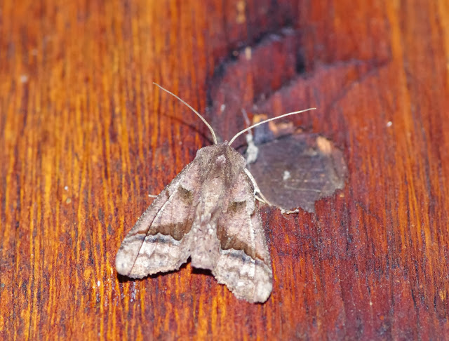 Geometridae : Ennominae : Pero sp. Cabañas Rio Grande, Nangulvi, 1400 m, Intag, (Imbabura, Équateur), 17 novembre 2013. Photo : J.-M. Gayman
