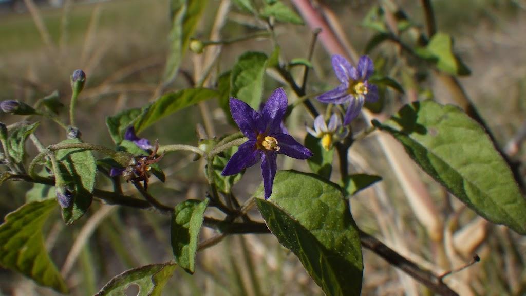 アメリカイヌホオズキの花