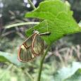 Butterflies ovipositions