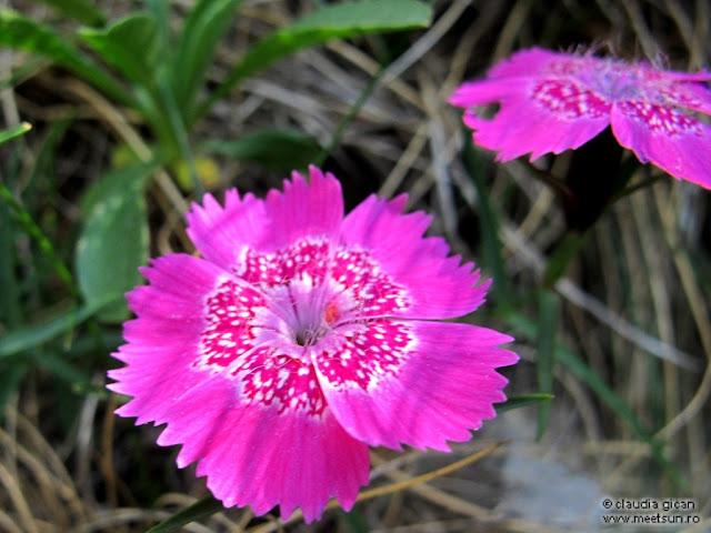 flori roz de munte: Garofiţa Pietrei Craiului
