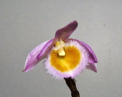 Dendrobium loddigesii P1370590
