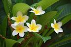 På lodgen er der masser af flotte blomster. Her f.eks. Carstens yndlingsblomst - frangipani.