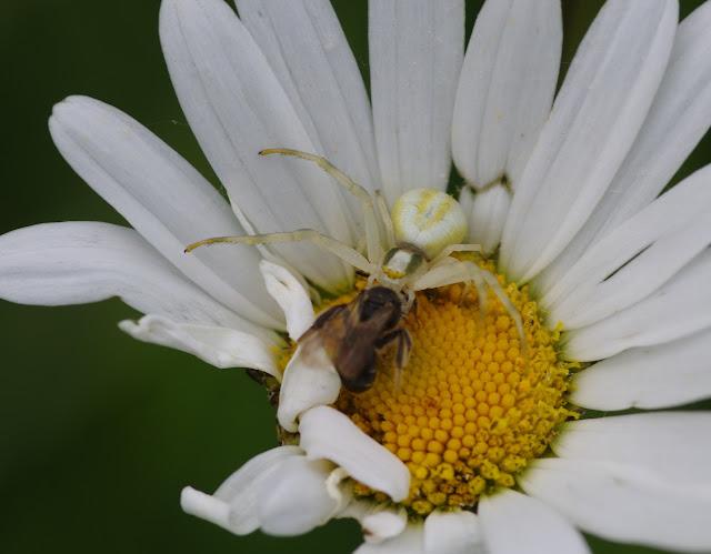 Thomisidae : Misumena vatia (Clerck, 1757) et sa proie. Les Hautes-Lisières (Rouvres, 28), 2 juin 2015. Photo : J.-M. Gayman