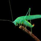 Sickle bearing Bush Cricket