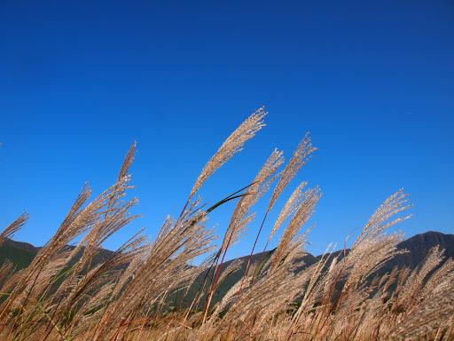 [写真]仙石原のすすき