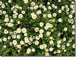 margaritas flores (12)