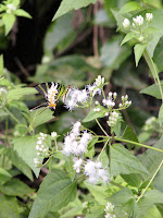 Five-bar Swordtail (Pathysa antiphates itamputi)