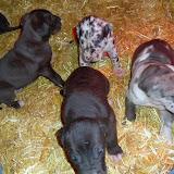 Puppies @ 4 weeks