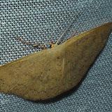 Geometridae : Sterrhinae : Idaea halmaea MEYRICK, 1888. Umina Beach (N. S. W., Australie), 1er janvier 2012. Photo : Barbara Kedzierski