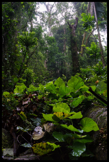 Springbrook Rainforest
