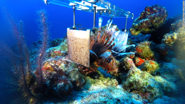 A prototype device for electrocuting invasive lionfish closes its electrodes on an unfortunate victim. Photo: Ocean Support Foundation