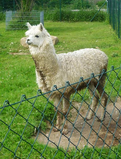 Ein Lama auf Gut Streiflach.