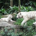 White tiger at Singapore Zoo