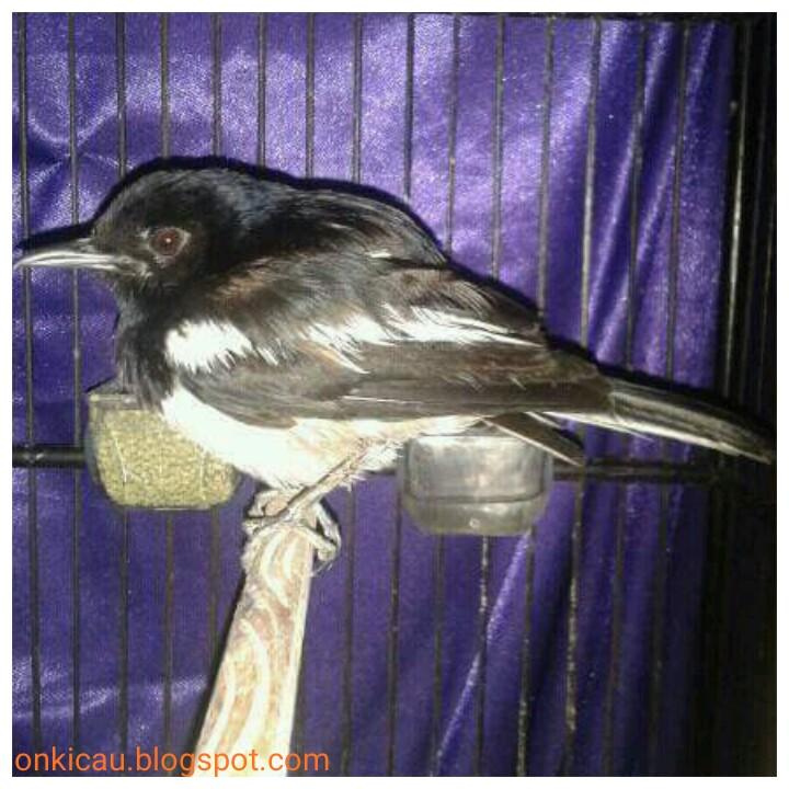 Ciri Ciri Burung Cacingan Dan Pencegahannya On Kicau