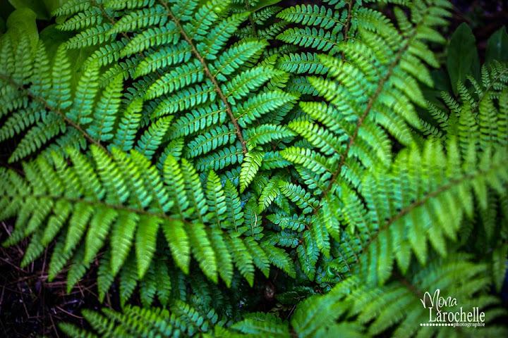 Fougère Polystichum braunii Foug-Polystichum_braunii_Dycel_140605-97rm