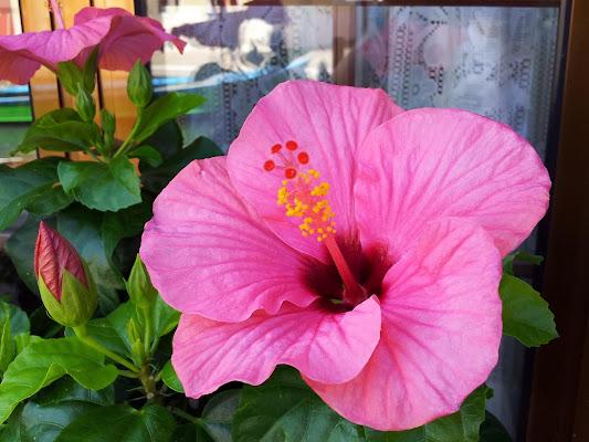 Ibisco rosa di joysphoto