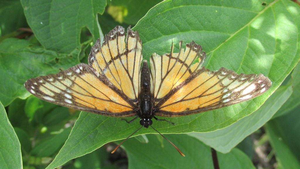 [IMG_6896-Viceroy-Butterfly-107]