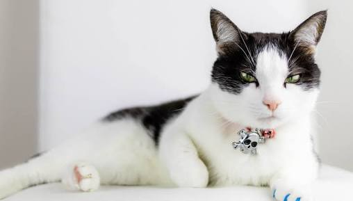 Cat as Pet