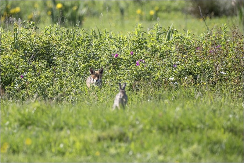 Fox stalking