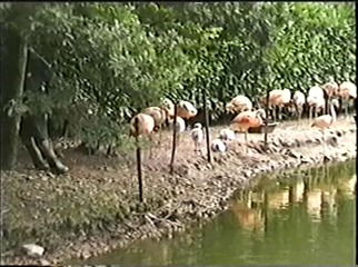 1998.09.09-021 flamants roses