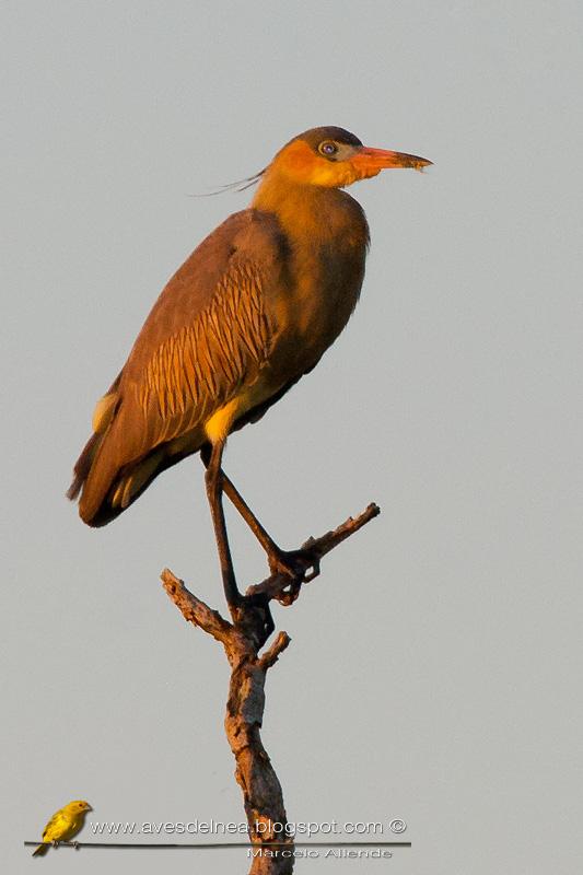 Chiflón (Whistling Heron)