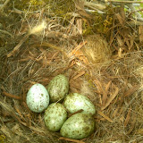 American Crow nest & eggs (Gwen McMullen)