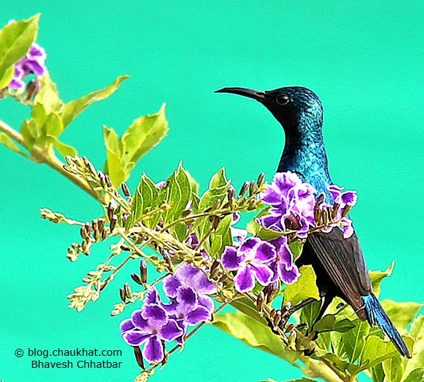 Sleek male Purple Sunbird [Cinnyris asiaticus] perched on a purple flowering branch