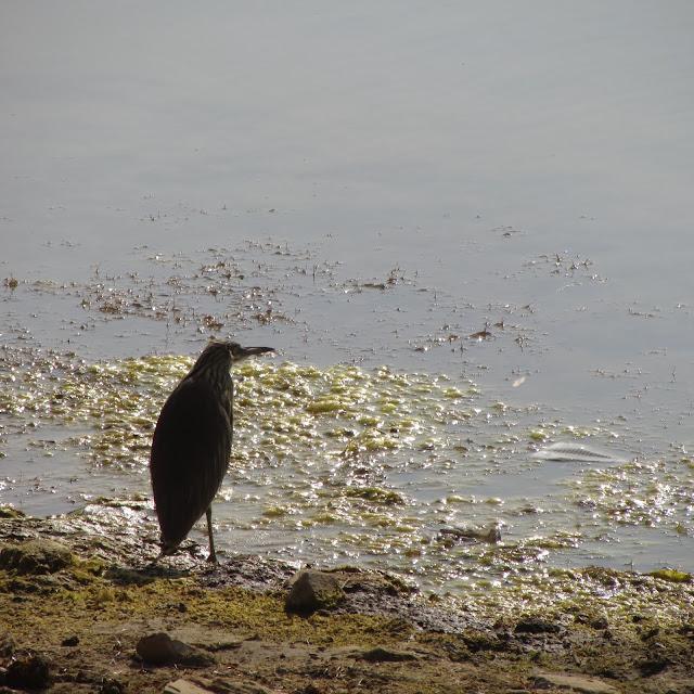 Heron, Gadsisar Lake, Jaisalmer