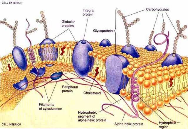 Cholesterol là một thành phần quan trọng của màng tế bào