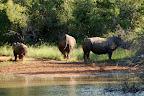 I Thsukudu så vi også disse 3 næsehorn ... desværre mest bagfra - de stak hurtigt af!