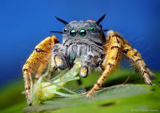 Adult Male Phidippus mystaceus feeding on a Chrysopid, de Thomas Shahan