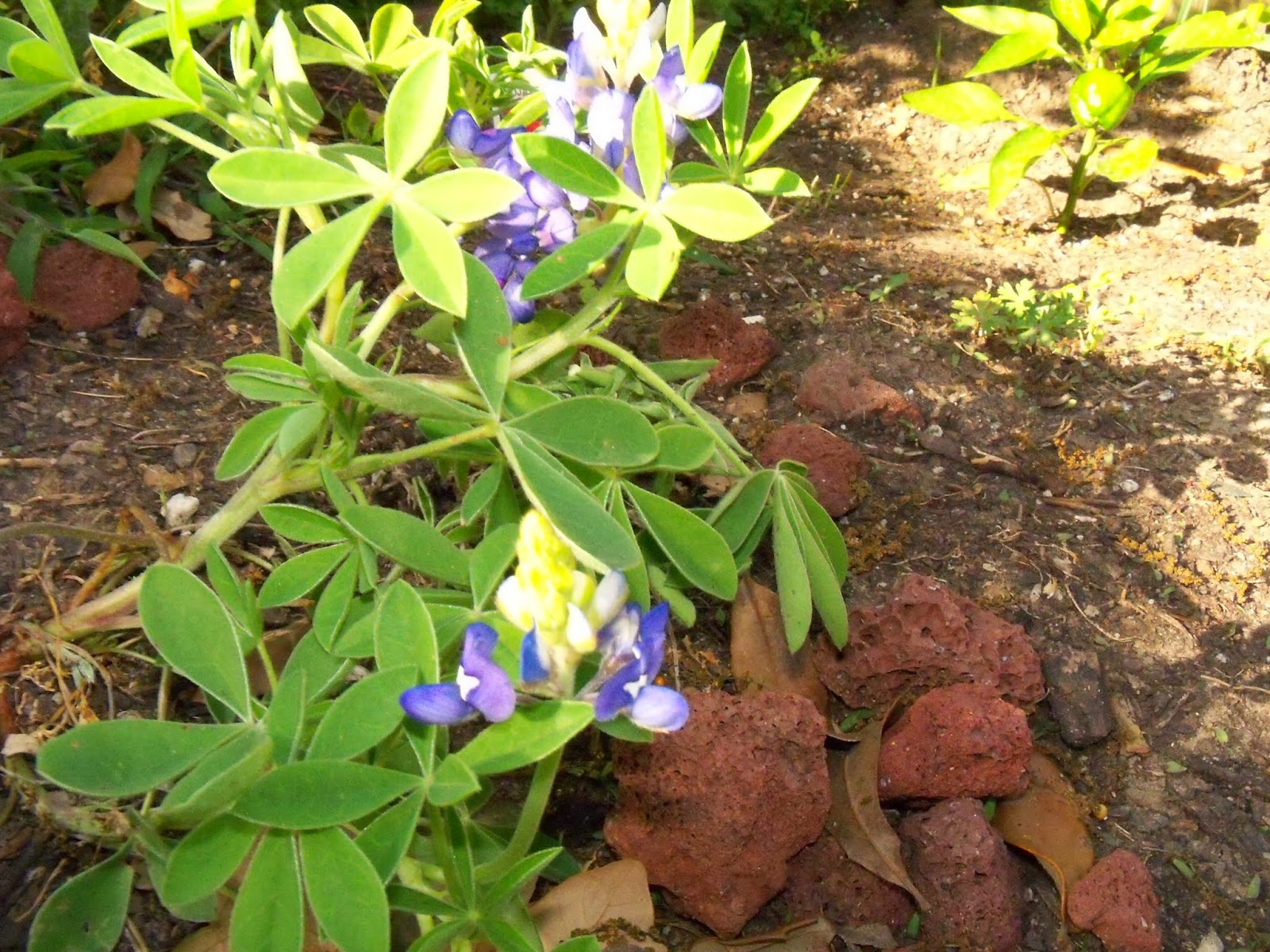 Gardening 2015 - 116_7677.JPG
