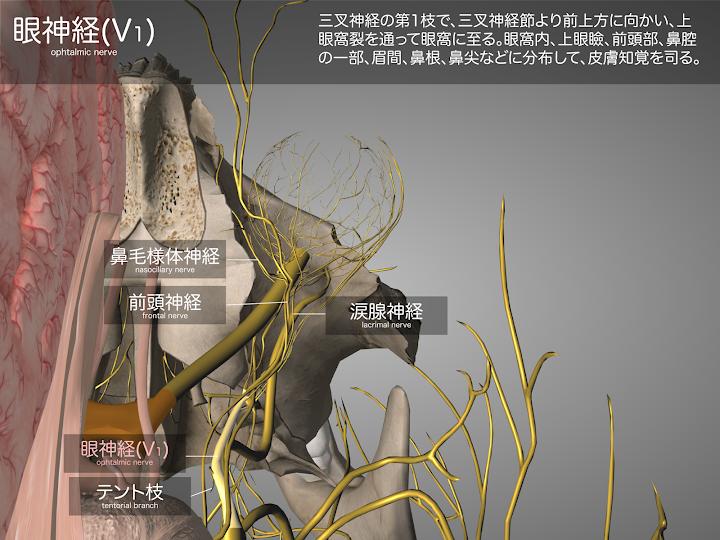 2014-29a01眼神経(V1)2048-1536.png