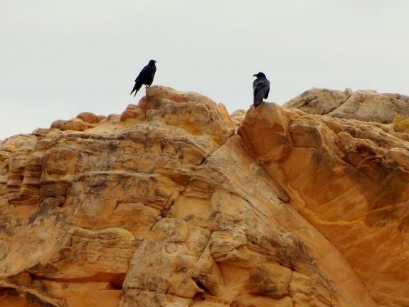 Ravens near camp