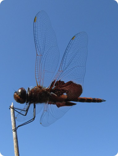 5 Red saddlebags (Tramea onusta) Dragonfly