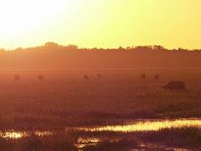 Lovely sunset photo of buffalo out feeding on the plains.
