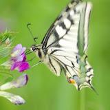 Papilio machaon LINNAEUS, 1758. Les Hautes-Lisières (Rouvres, 28), 23 mai 2012. Photo : J.-M. Gayman