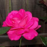 Gardening 2011 - 100_7279.JPG