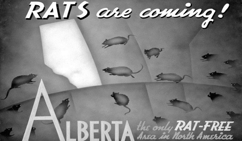 alberta-rats-1