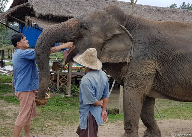 Inserting a banana into the elephant's waiting mouth.