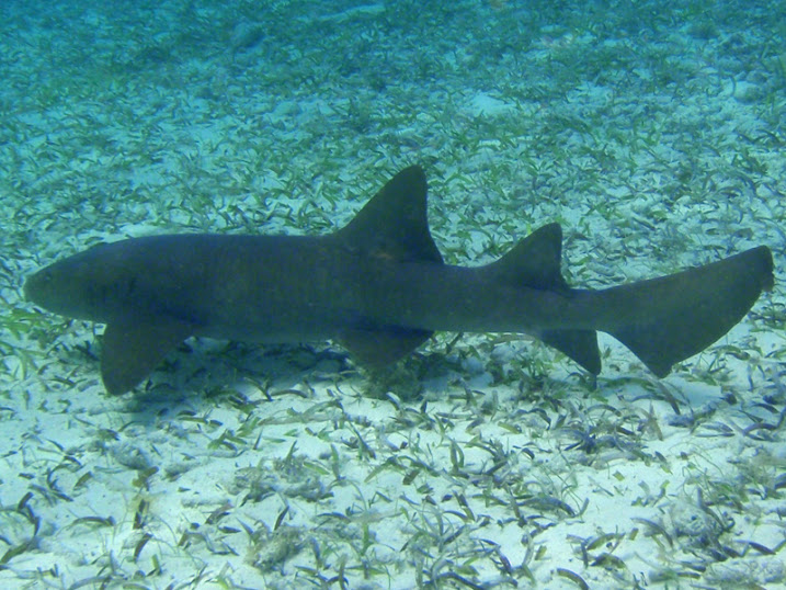 Ginglymostoma cirratum (Nurse Shark) off Ambergris Caye, Belize