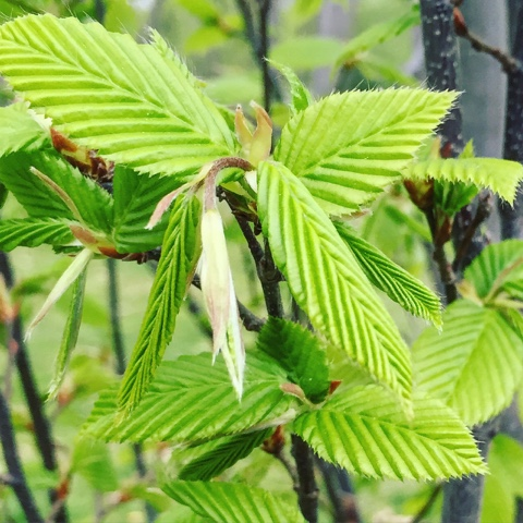 European Hornbeam, Carpinus betulus fastigiata, leafing out in the Rose Garden.