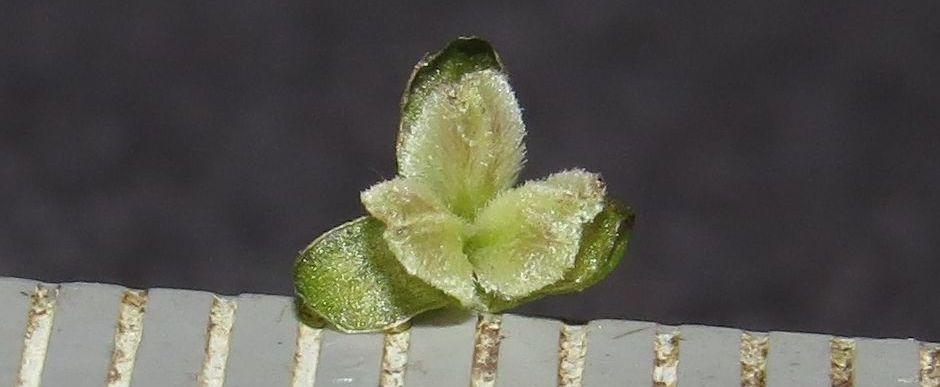 Валлиснерия спиральная (Vallisneria spiralis)