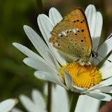 Lycaena (Heodes) virgaurae (L., 1758), femelle. Pentes au NE de Cheget (Terskol), 2000 m (Kabardino-Balkarie), 11 août 2014. Photo : J. Michel