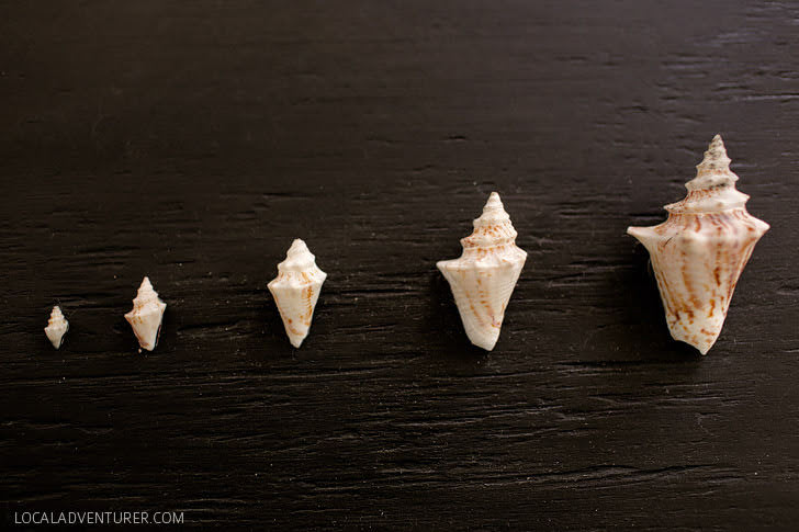 Sea Conch Life 1 to 5 months