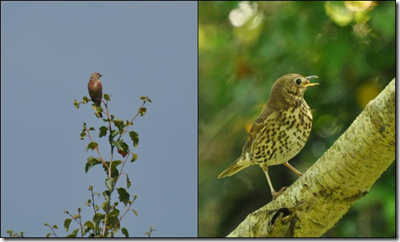 Linnet and Song Thrush