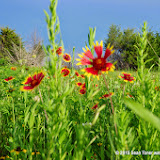 05-26-14 Texas Wildflowers - IMGP1394.JPG
