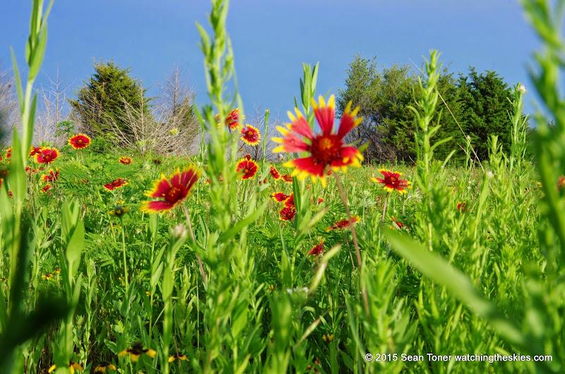 05-26-14 Texas Wildflowers - IMGP1394.JPG