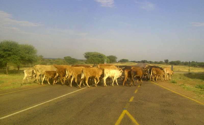 Cows interrupting my daily bike road on the road to Sikwane