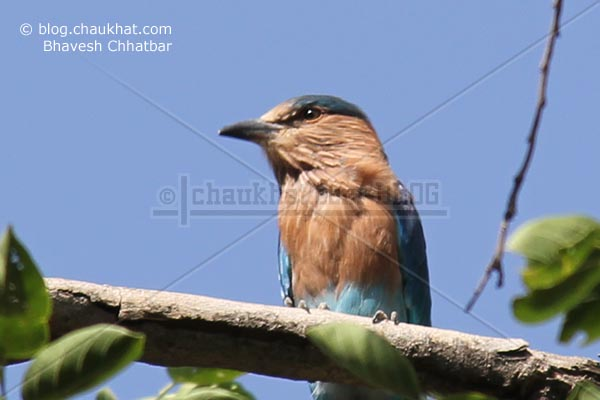 Indian Roller [Coracias Benghalensis]